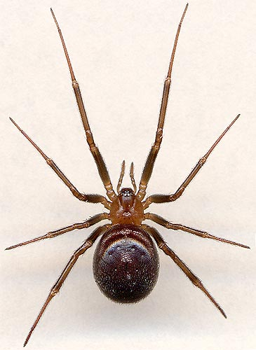 Steatoda grossa / female